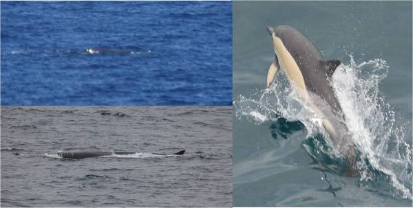 Fig. 2: (left top) Sperm whale Physeter macrocephalus, (left bottom) fin whale Balaenoptera physalus, (right) common dolphin Delphinus delphis. © Dominik Nachtsheim & Simon Jungblut, PolE.