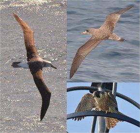 Fig. 1: (left) Shy albatross Thalassarche cauta, (right top) Cory´s shearwater Calonectris diomedea, (right bottom) peregrine falcon Falco peregrinus. © Simon Jungblut, PolE.