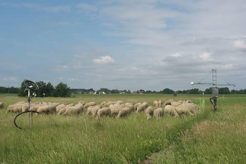 Pünklich zur Intensivmesszeit kommen nicht nur Menschen von weit angereist, sondern auch die Schafe aus Melpitz haben ihr Lager direkt neben dem Messfeld aufgebaut.... Foto: Janine Lückerath/ Universität Bayreuth