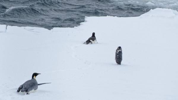 Adelie-Pinguine und ein Kaiserpinguin. Foto: Silvia Henning, TROPOS