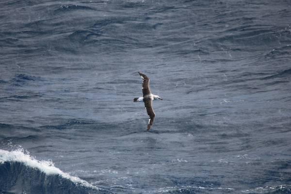 PS83-Wochenbericht-1/Abbildung 3: Ein Weißkappenalbatros (Diomedea cauta), der unser Schiff auf See besuchte. © Dominik Nachtsheim, PoIE.