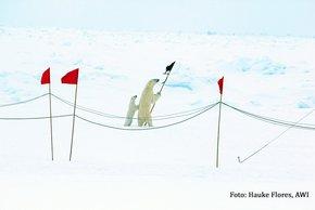 Dem Fahrtleiter des zweites Abschnitts von PS106, Hauke Flores vom AWI, gelang mit der kleinen Eisbärenfamilie ein besonderer Schnappschuss. Foto: Hauke Flores, AWI