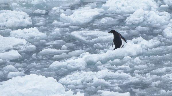 """Adelie-Pinguin im """"Slush""""eis. Foto: Silvia Henning, TROPOS"""