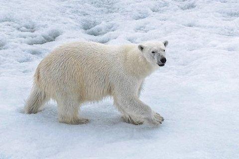 Eisbärenbesuche sind inzwischen Alltag und erfordern höchste Wachsamkeit vom MOSAiC-Team. Foto: Lianna Nixon, University of Colorado