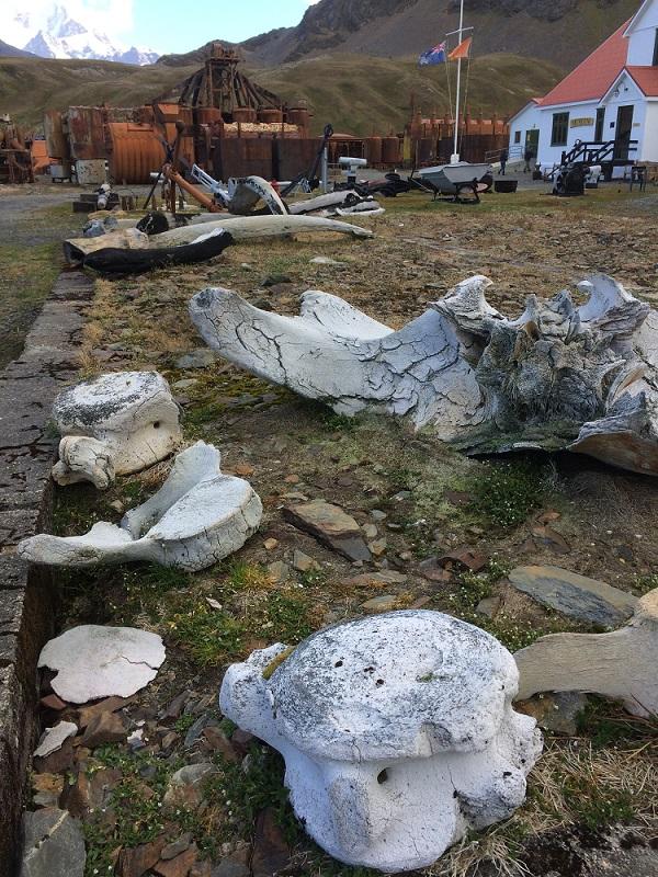 Überreste der alten Walfangstation und der gefangenen Wale. Bis Mitte des 20. Jahrhunderts diente Südgeorgien als Stützpunkt für Robben- und Walfänger. Foto: André Welti, TROPOS